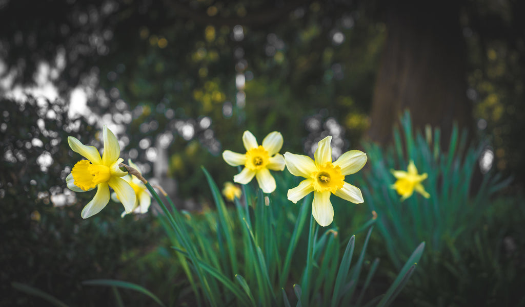 Flowers: The Daffodils of Spring Bloomed!