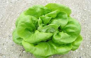 Butterhead Lettuce (Hydroponically Grown)