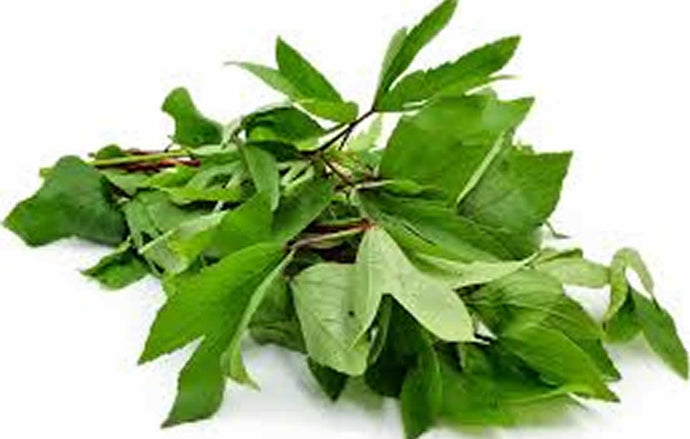 Kenaf (Gongura-Hydroponically Grown)
