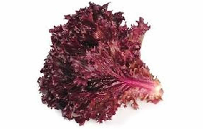 Red Lettuce(Hydroponically Grown)