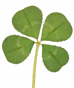 Real Genuine Four Leaf Clover