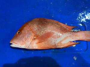 Emperor Red Snapper, Whole, Fresh (Large)