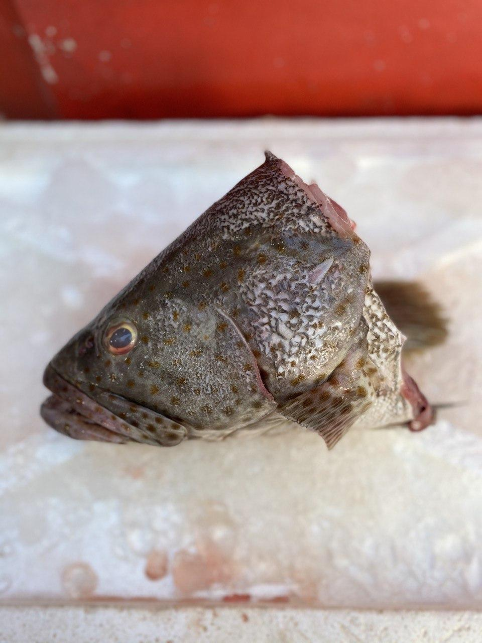 Black Grouper, Fish Head, Fresh (~1.5 kg)