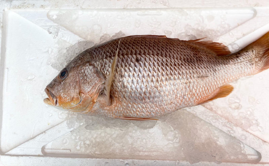 Golden Snapper, Whole, Fresh (Large)