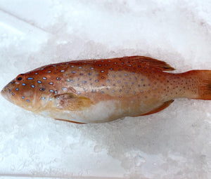 Red Grouper, Whole, Fresh (Small)