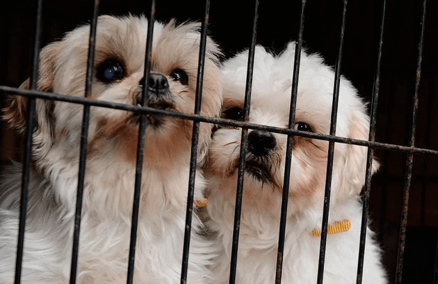Buying your Shih Tzu From a Pet Store. (WHY IT'S BAD)