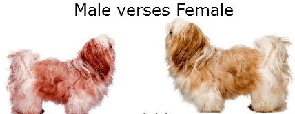 Boy or Girl:  Which sex Shih Tzu is best for you?