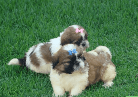 Appearance and physical characteristics of the Shih Tzu