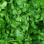 Cilantro, Fresh - bunch