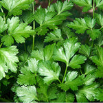 Parsley, Italian - bunch