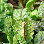 Swiss Chard, Red, Organic - bunch