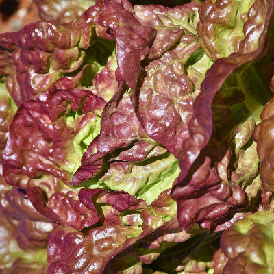 Lettuce, Red Leaf - head