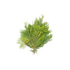 FLOWER - CEDAR (CHRISTMAS DECORATION)