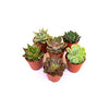 PLANT ECHEVERIA ASSORTED