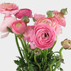 FLOWER - RANUNCULUS 10 stems
