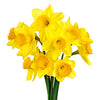 FLOWER - DAFFODILS 10 STEMS