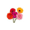 FLOWER - GERBERA 5 STEMS