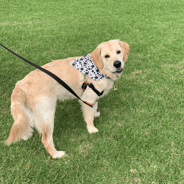 Leo wearing a Dalmation Dots Dog Bandanas NZ