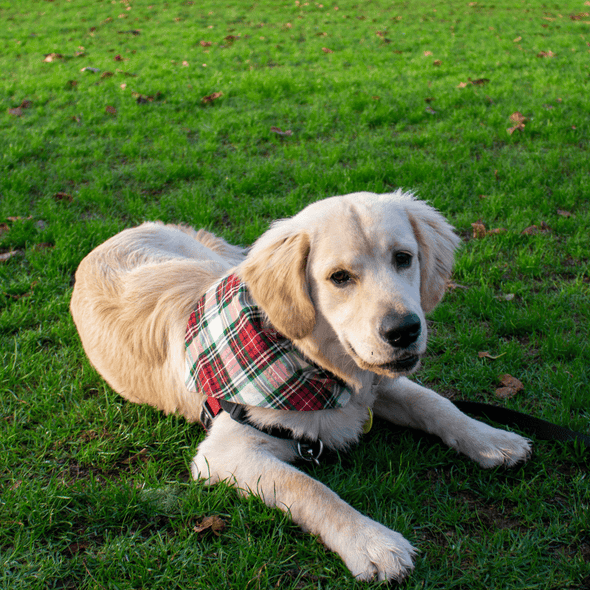 Leo wearing a classic plaid dog bandanas by pet boutique