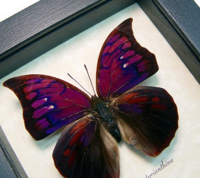 Anaea Tyrianthina Real Framed Butterfly