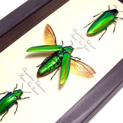 Metallic Green Jewel Beetles