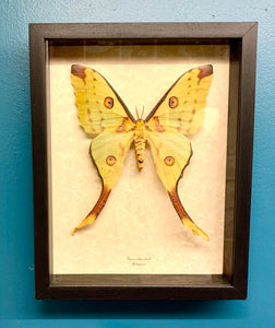 Large yellow moth