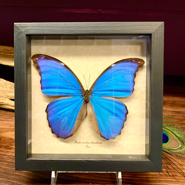 The giant blue morpho butterfly has a stunning blue metallic appearance and changes color when tilted.