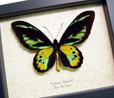 Ornithoptera Rothschildis Birdwing Framed Butterfly