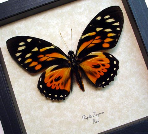 Giant Orange Tiger Butterfly
