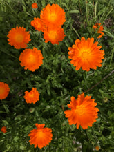 Load image into Gallery viewer, Calendula - OG