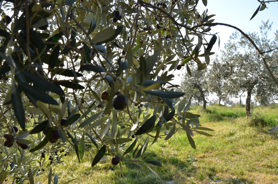 WHY CHOOSE ITALIAN EXTRA VIRGIN OLIVE OIL (ORGANIC & BIODYNAMIC PLEASE)