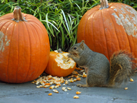How to Keep Critters from Eating Your Pumpkins!