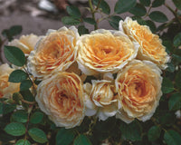 How To: Caring For Your Rose Bushes