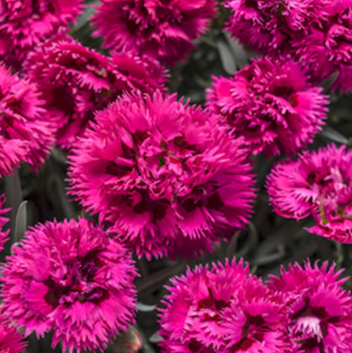 Proven Winners® Dianthus (PRE-ORDER)