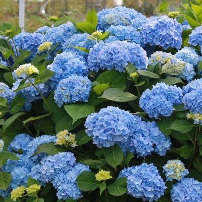Endless Summer® Hydrangeas