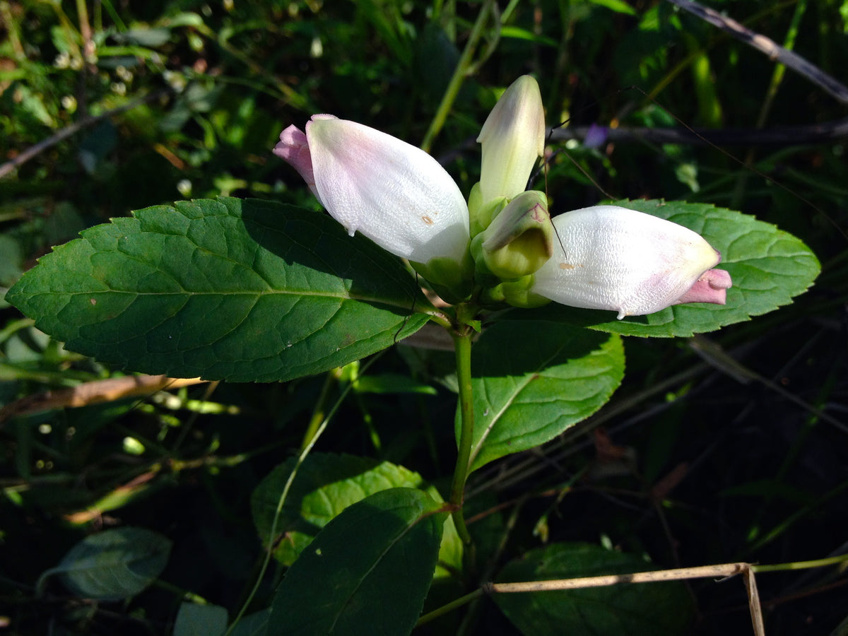 Chelone (Turtlehead)