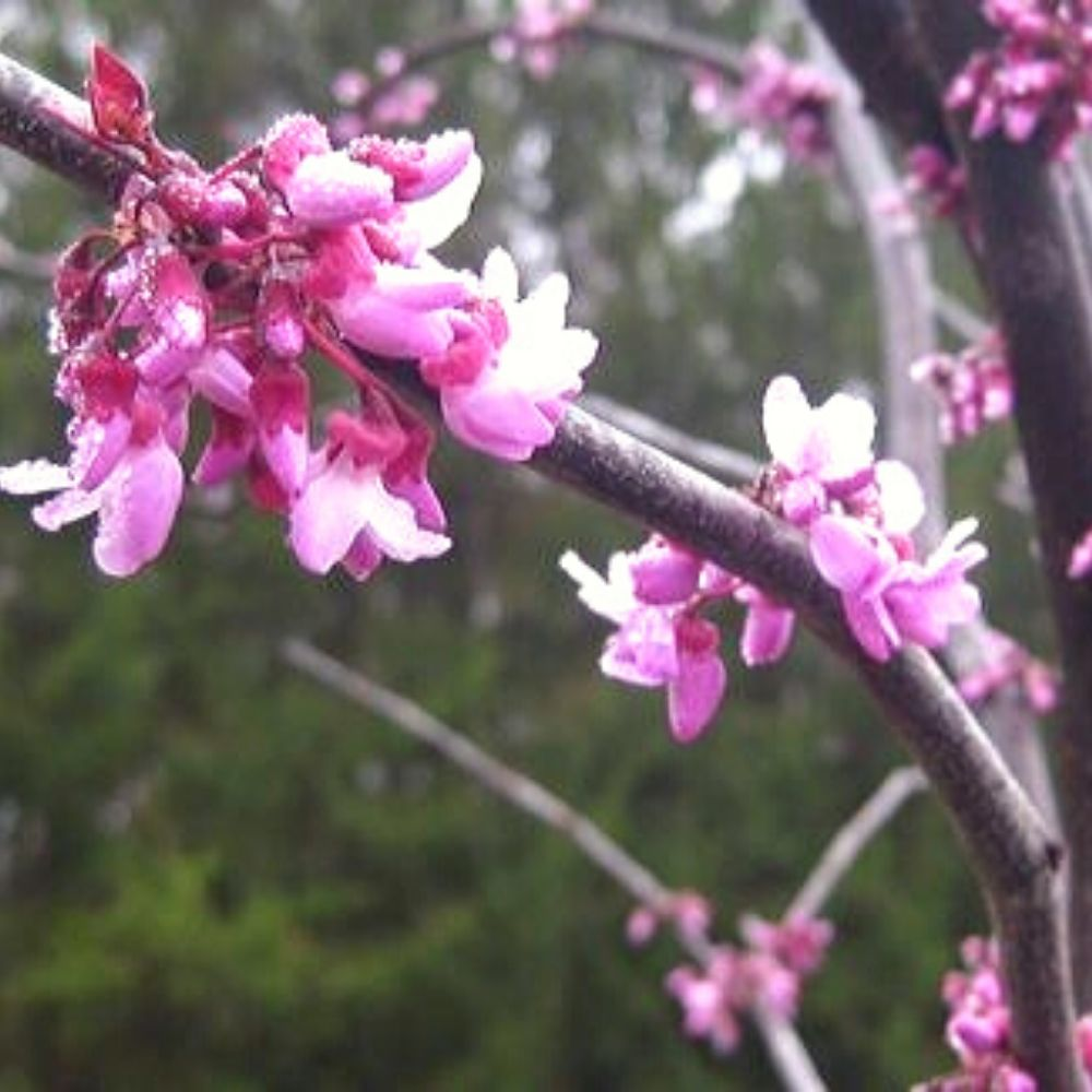 Eastern Redbud Barlow Flower Farm