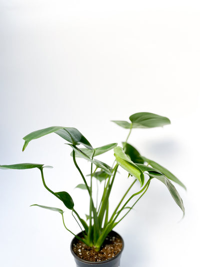 Fenestrated Philodendron