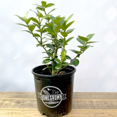 Meyer Lemon Bush