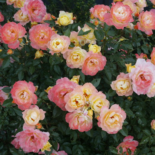 Proven Winners® Oso Easy® Roses (PRE-ORDER)