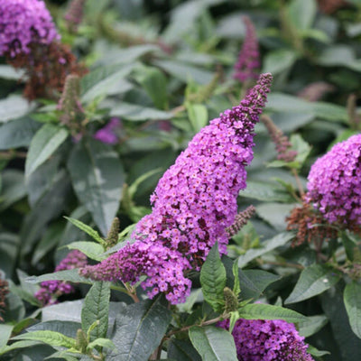Proven Winners® Butterfly Bush (Buddleia)