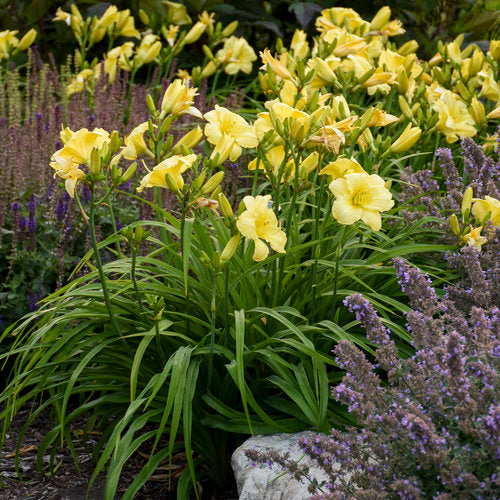 Proven Winners® Daylily (PRE-ORDER)