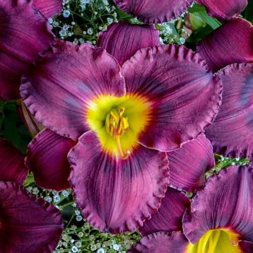 Proven Winners® Hemerocallis
