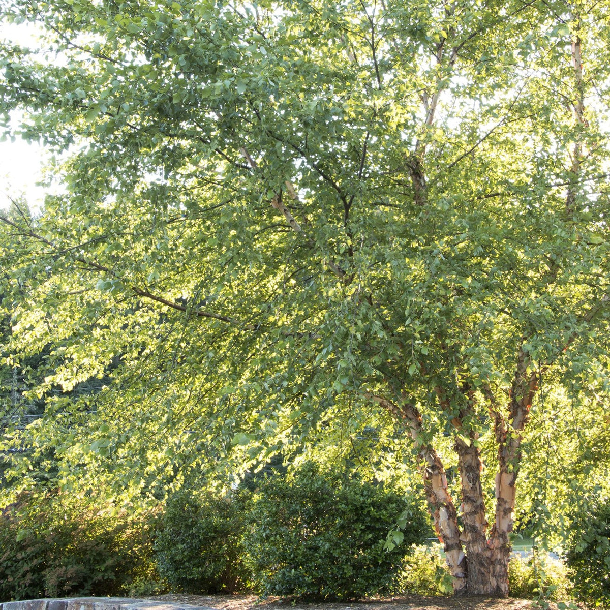 Heritage® River Birch (Multi-Branch)