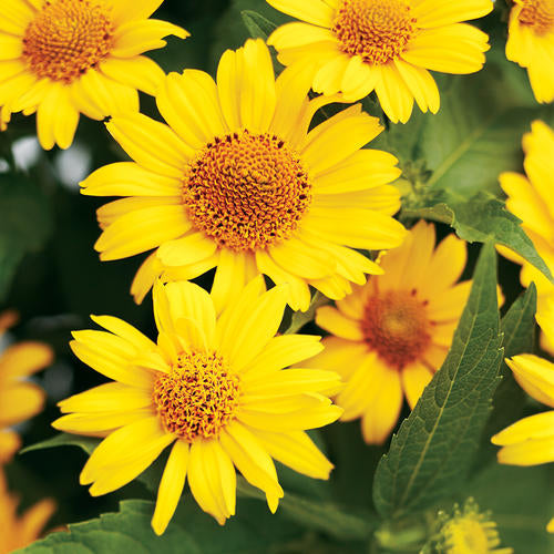 Proven Winners® Heliopsis (PRE-ORDER)