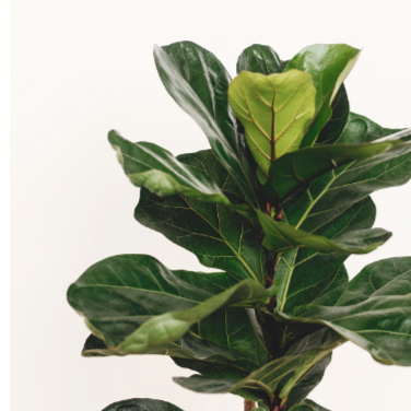 Fiddle Leaf Figs & Ficus