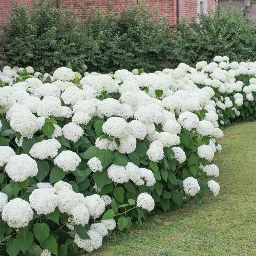 Proven Winners® Smooth Hydrangea