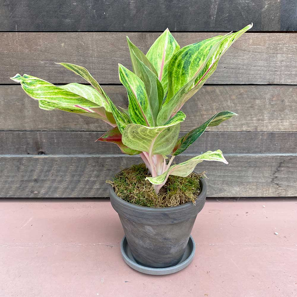 Potted Houseplant Gift