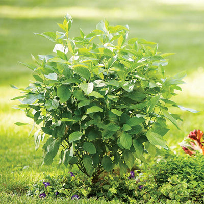 Proven Winners® Arctic Fire® Dogwood