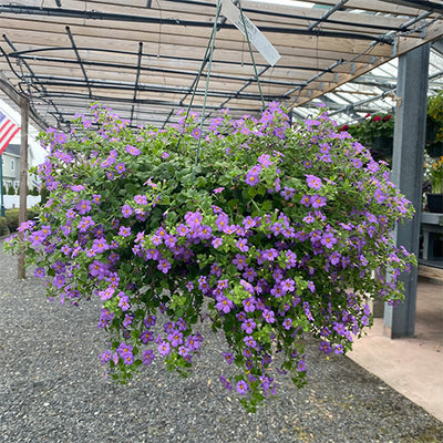 Bacopa Hanging Baskets